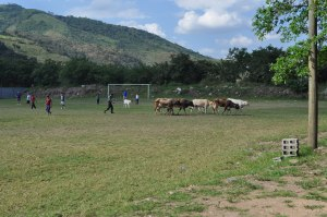 Futball with Cows